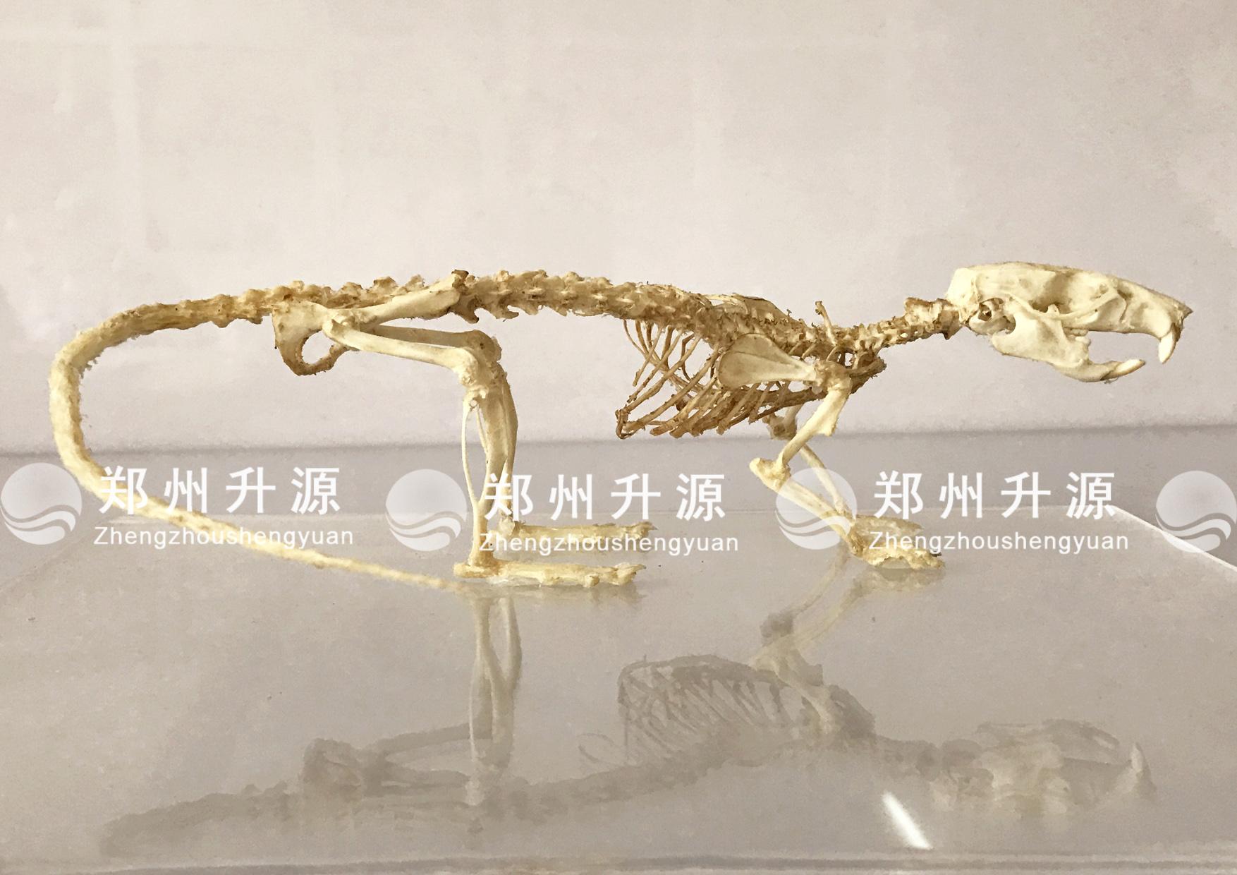 老鼠骨骼标本案例