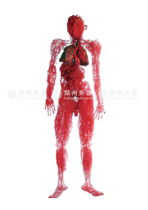 全身血管铸型标本(无骨)