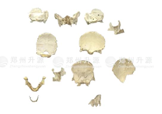 头部散骨标本