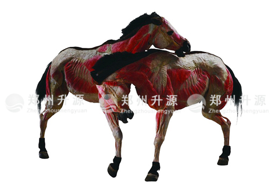 马塑化标本