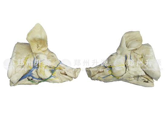 猪头颈深层、浅层解剖标本