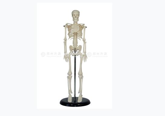 全身骨架模型