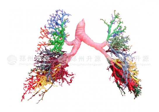 肺段铸型标本