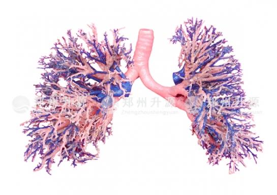 肺支气管铸型标本