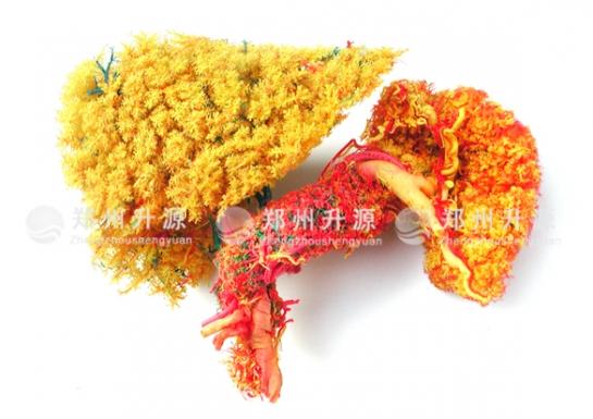 肝胰脾十二指肠铸型标本(二)