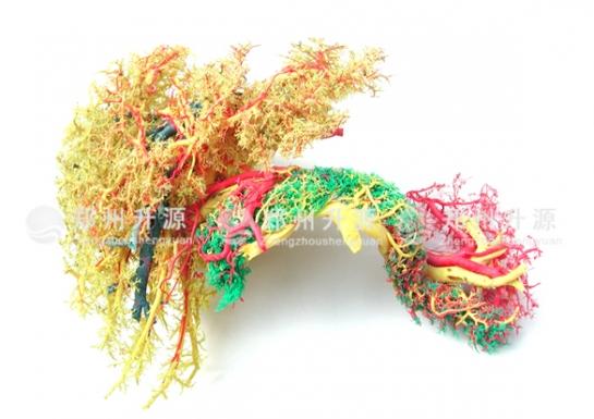 肝胰脾十二指肠铸型标本(一)