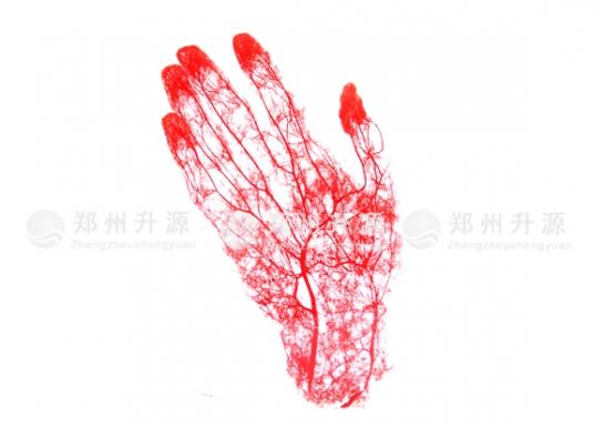手动脉铸型标本