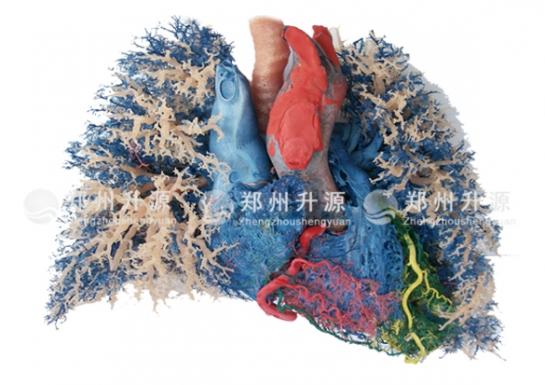 心肺联合血管铸型标本