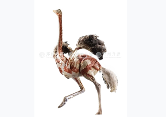 鸵鸟塑化标本
