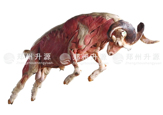 四川动物塑化标本
