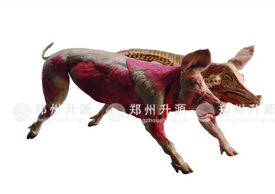 猪塑化标本