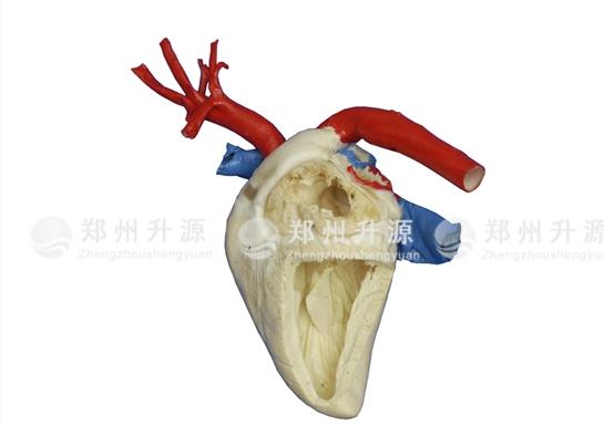 马心脏标本