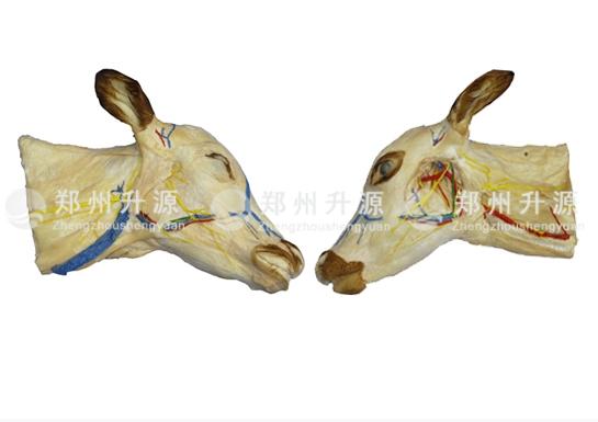 牛头颈浅层、深层解剖标本