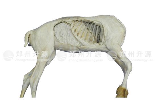 羊器官原位标本