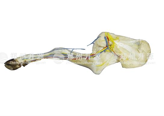 羊前肢解剖标本