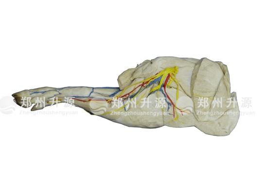 猪前肢局解标本