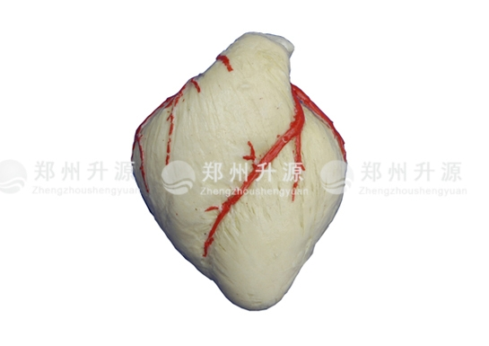 猪心肌纤维环标本