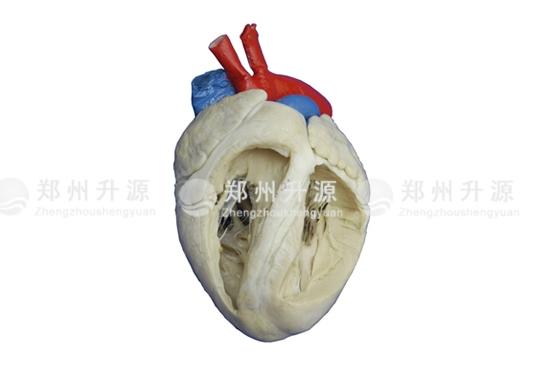 猪心脏标本