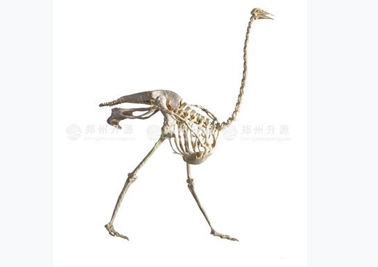 鸵鸟骨骼标本