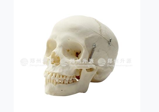 成人颅骨模型
