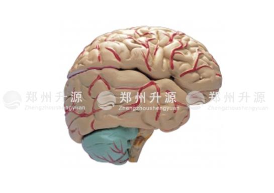 大脑及动脉模型