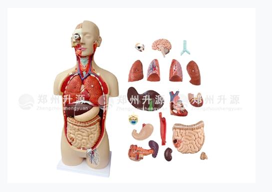 人体器官结构组织解剖模型