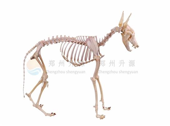 动物骨骼标本