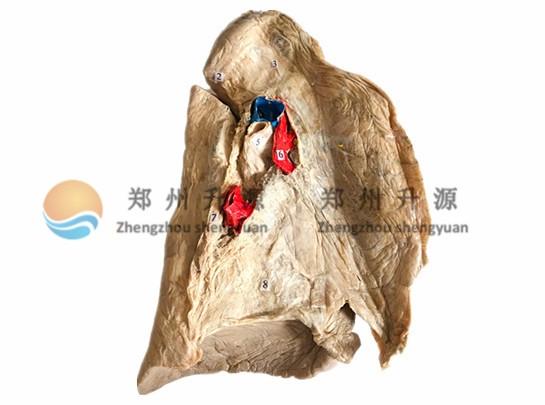 肺根的结构