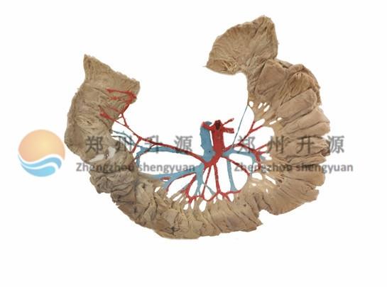 肠系膜上动脉及其分支