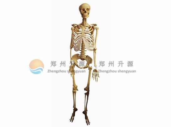 云南骨骼标本