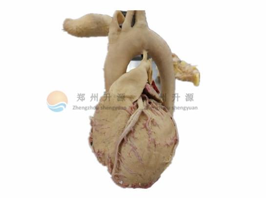 心外形-塑化标本