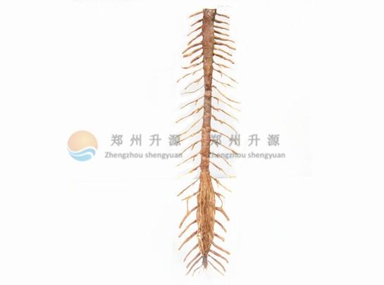 脊髓整体观-塑化标本