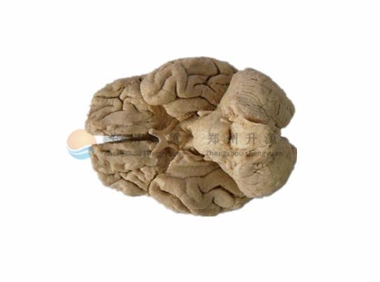 整脑-塑化标本
