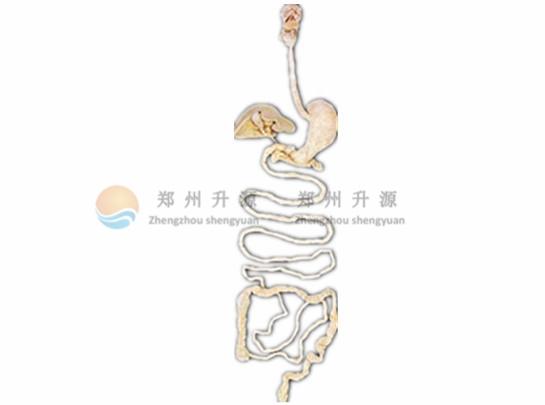 消化系统概观-塑化标本