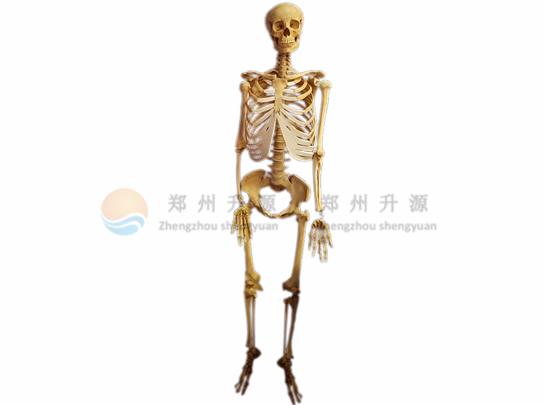 大石桥骨骼标本
