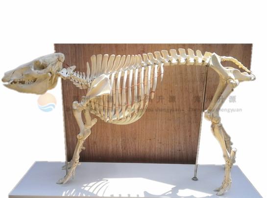 猪整体骨骼标本