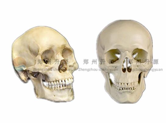 颅骨骨骼标本